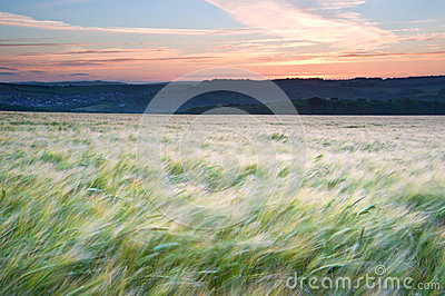 Field of grain blowing in wind Summer sunset