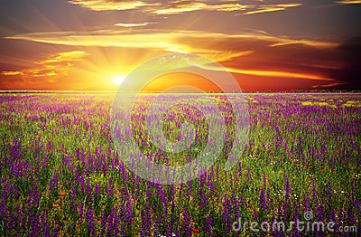 Field with grass, violet flowers and red poppies Stock Photo