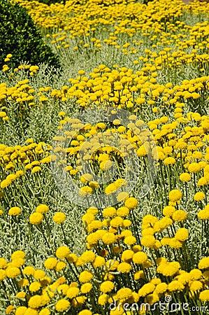 Field of gray santolina