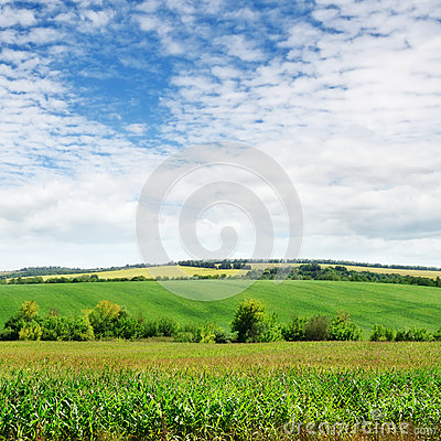 Field with green plants and  sky
