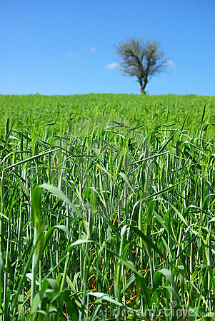Field of green wheat with tree.