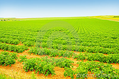Field of growing potatoes