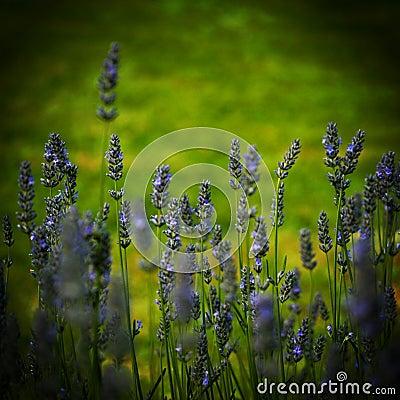 A field of Lavendar