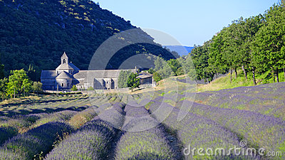 Field of lavender in front of Abbey