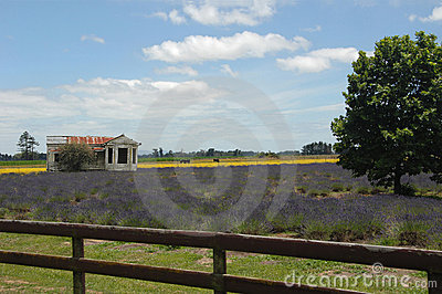 Field of Lavender - with rustic house