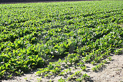Field with lettuce