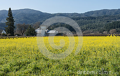 Field of Mustard in Napa Valley