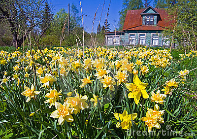 Field of narcissus flowers