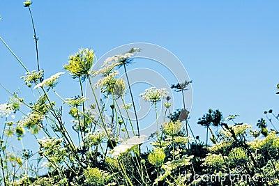 Field of nice white flowers