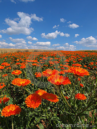 Free Field Of Flowers Royalty Free Stock Images - 5886729