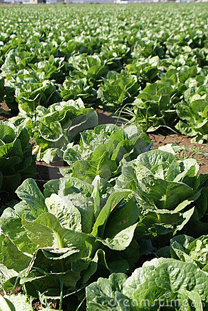 Free Field Of Lettuce Stock Images - 12320844