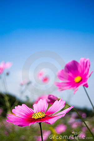 Free Field Of Pink Cosmos Flowers And Blue Sky Stock Photography - 7151292