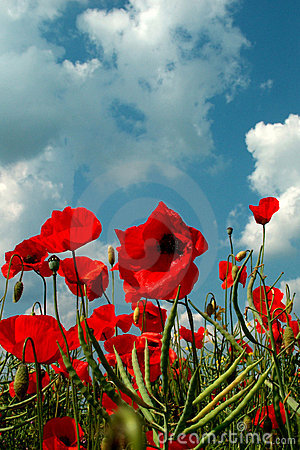 Free Field Of Poppies Stock Image - 28361