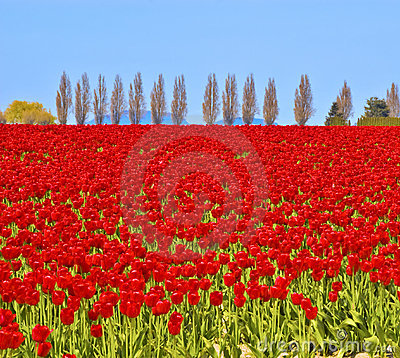 Free Field Of Red Tulips Stock Photography - 6736112