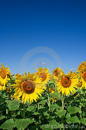 Free Field Of Sunflowers Stock Images - 2788464
