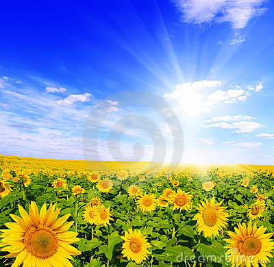 Free Field Of Sunflowers And Blue Sun Sky Royalty Free Stock Images - 7939949