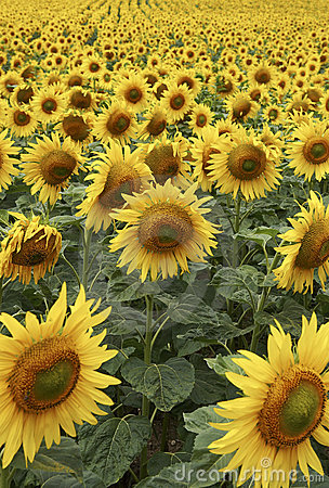 Free Field Of Sunflowers Half Way Through Lifecycle Royalty Free Stock Image - 205566
