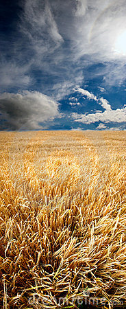 Free Field Of Wheat Early Summer Stock Photos - 2714453