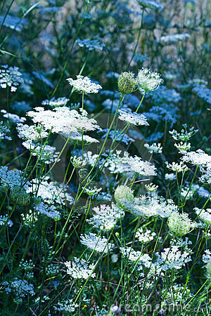 Free Field Of White Flowers Stock Image - 2891741