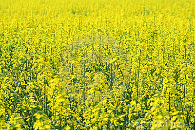 A field of oil seed rape (Brassica napus)