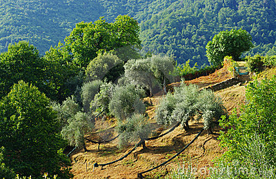 Field of Olive tree in mediterranean island