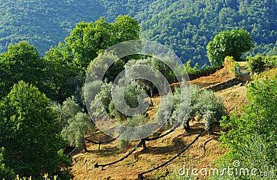 Field of Olive tree in mediterranean island