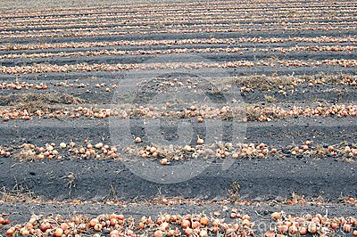Field with onion during harvesting