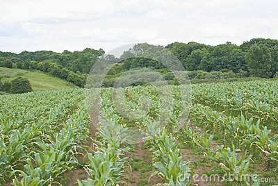 Field with parallel lines