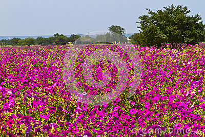 Field of petunias
