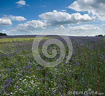 Field Phacelia Juss