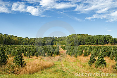 Field of pine trees