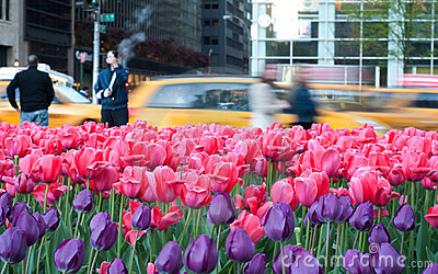 Field of Pink and purtle tulips in manhattan