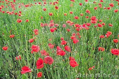 Field of poppies 1 Stock Photo