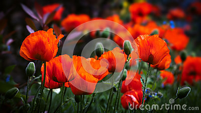 Field of poppies in bloom