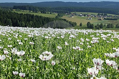 Field of poppies in Central Europe
