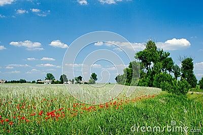 Field with poppy