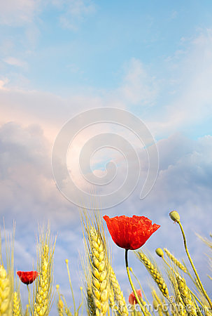Field poppy against the blue sky. Summer morning