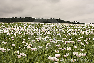 Field of poppy plants