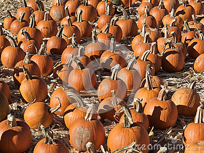 Field of pumpkins after harvest