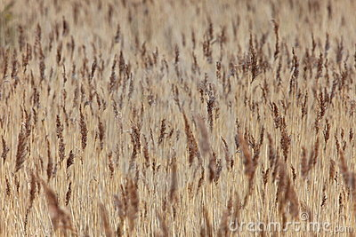 Field of reeds.