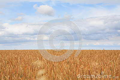 Field of ripe wheat.