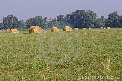 Field with rolled hay