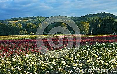 Field of roses, Oregon