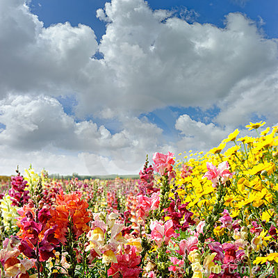 Field with snapdragon and yellow daisy flowers
