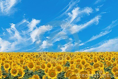 Field sunflowers