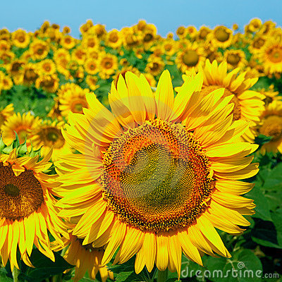 A field of sunflowers on blue sky