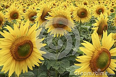 Field of Sunflowers half way through lifecycle