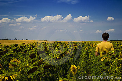Field of sunflowers and working man in summer