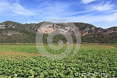 Field of tobacco plantation in vinales, cuba