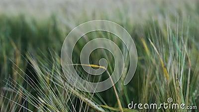 The Field und Klapse die Ohren des Weizens stock video footage